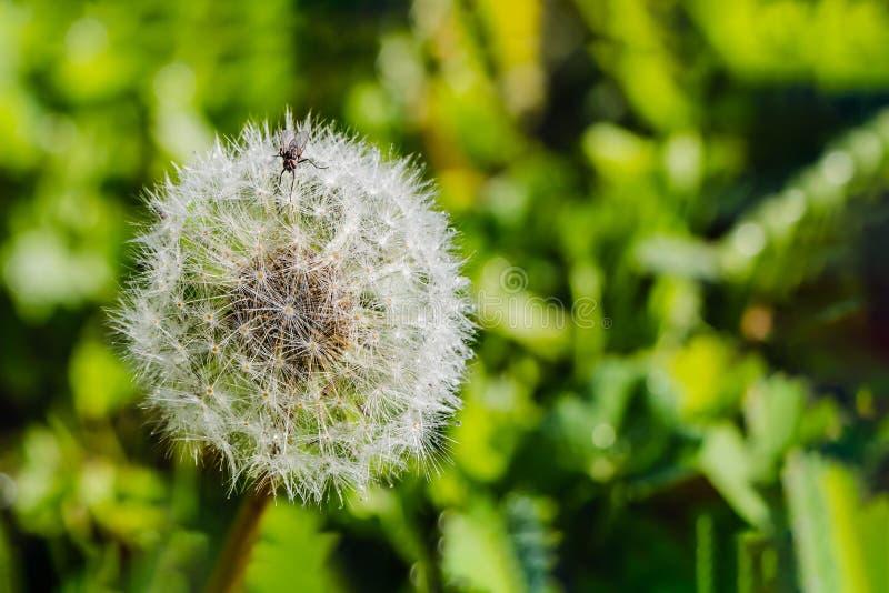 Una pequeña mosca marrón en una flor mullida blanca del diente de león con descensos del agua después de la lluvia en el jardín e foto de archivo libre de regalías