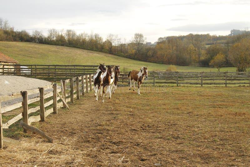 Una pequeña multitud de los caballos islandeses que corren en los pastos de un rancho joven fotografía de archivo libre de regalías