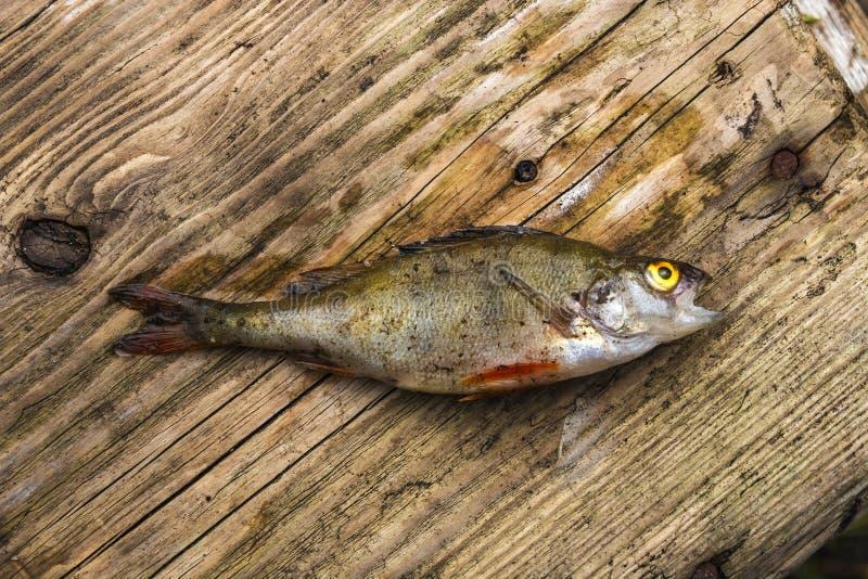 Una pequeña perca secada-para arriba miente en un banco de madera de un barco de pesca foto de archivo libre de regalías