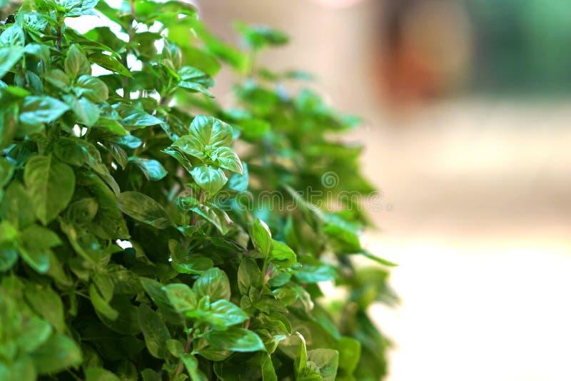 Una pequeña planta de la albahaca se muestra en una calle en Naoussa, Paros fotografía de archivo libre de regalías