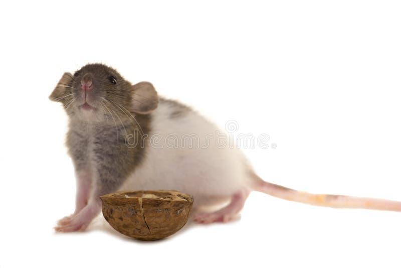 Una pequeña rata con la nuez aislada en blanco imagen de archivo