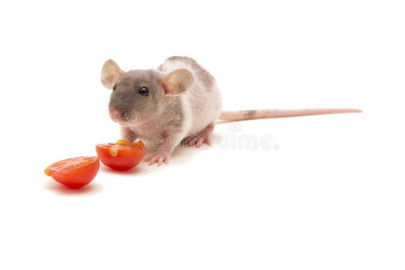 Una pequeña rata del dumbo que come los tomates aislados en blanco imagen de archivo libre de regalías