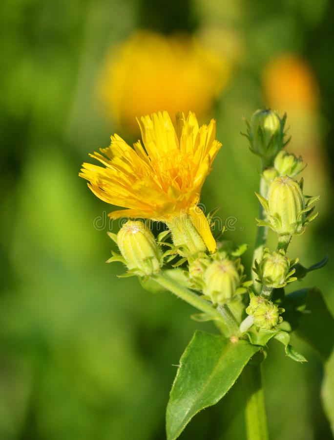 Una peque?a flor amarilla Flor hermosa fotografía de archivo