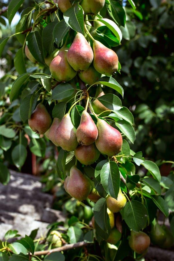Una pera verde en un árbol foto de archivo