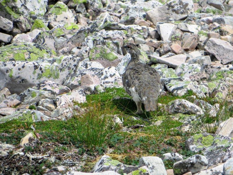 Una perdiz nival de la roca camaflouging entre las rocas encima de Gros Morne fotos de archivo libres de regalías