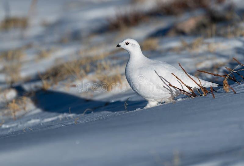 Una pernice bianca dalla coda bianca in un campo di neve fotografie stock