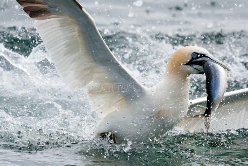 Una pesca d'immersione di Gannet per l'alimento fuori dalla roccia bassa fotografia stock