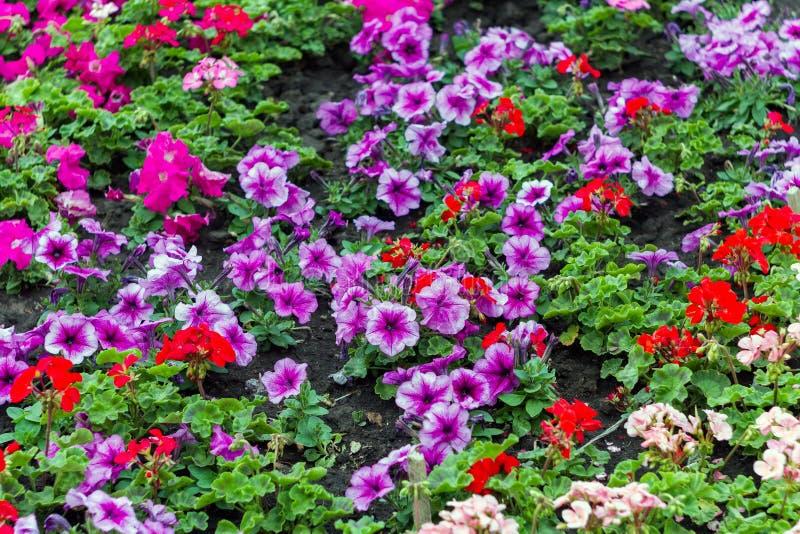 Una petunia popular de la flor es plantas de florecimiento del origen suramericano foto de archivo