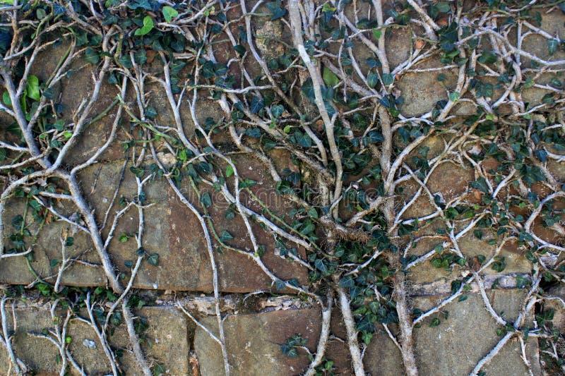 una pianta con un gambo bianco e venti delle foglie verdi sopra l'intera superficie del wal immagine stock libera da diritti