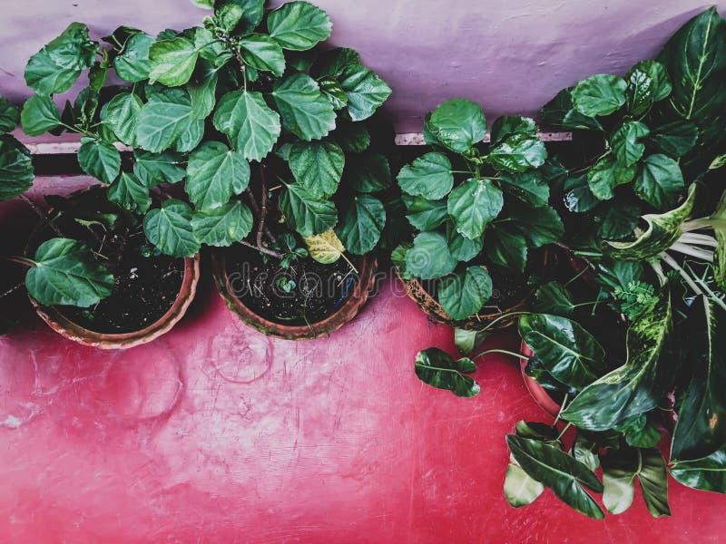 Una pianta conservata in vaso della felce con le foglie verdi ad un giardino dell'interno con fondo luminoso immagine stock libera da diritti