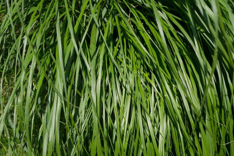 Una pianta decorativa popolare fotografia stock libera da diritti
