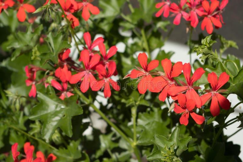Una pianta decorativa popolare immagini stock