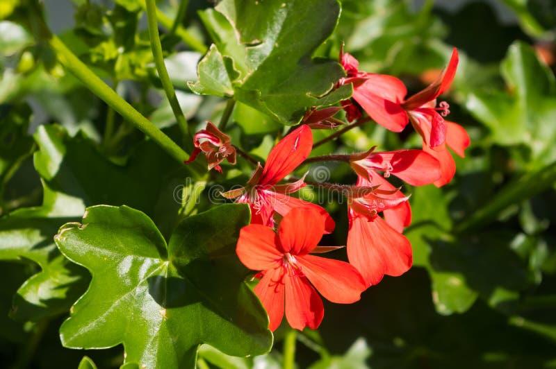 Una pianta decorativa popolare fotografie stock libere da diritti