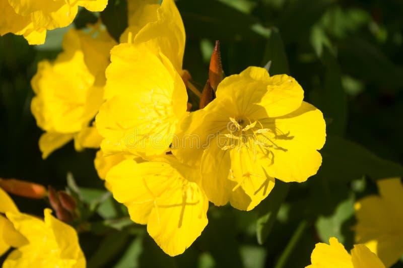 Una pianta decorativa popolare fotografie stock