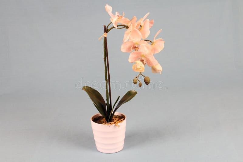 Una pianta in vaso con i fiori rosa insolitamente a forma di fotografia stock