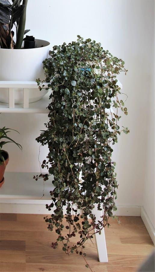 Una pianta verde fiorente su un rack di fiori bianchi fotografie stock libere da diritti