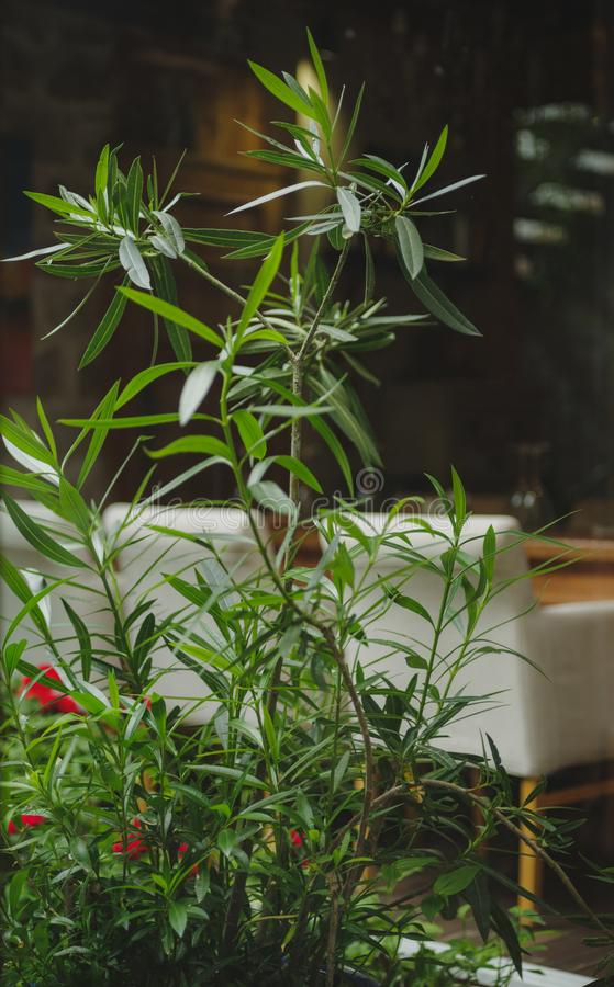 Una pianta verde intenso su un fondo vago della stanza Alte piante da appartamento fresche accanto ad un sofà bianco Copi lo spaz immagini stock