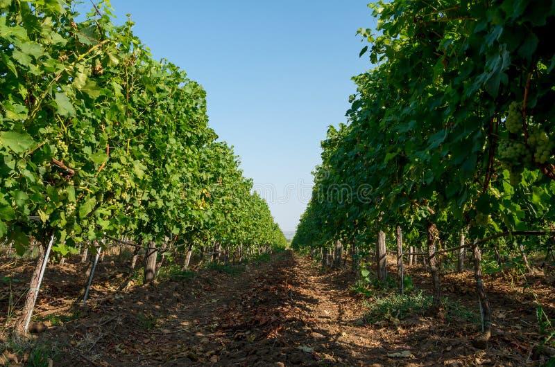 Una piantagione della vigna delle viti del cuscinetto dell'uva fotografia stock