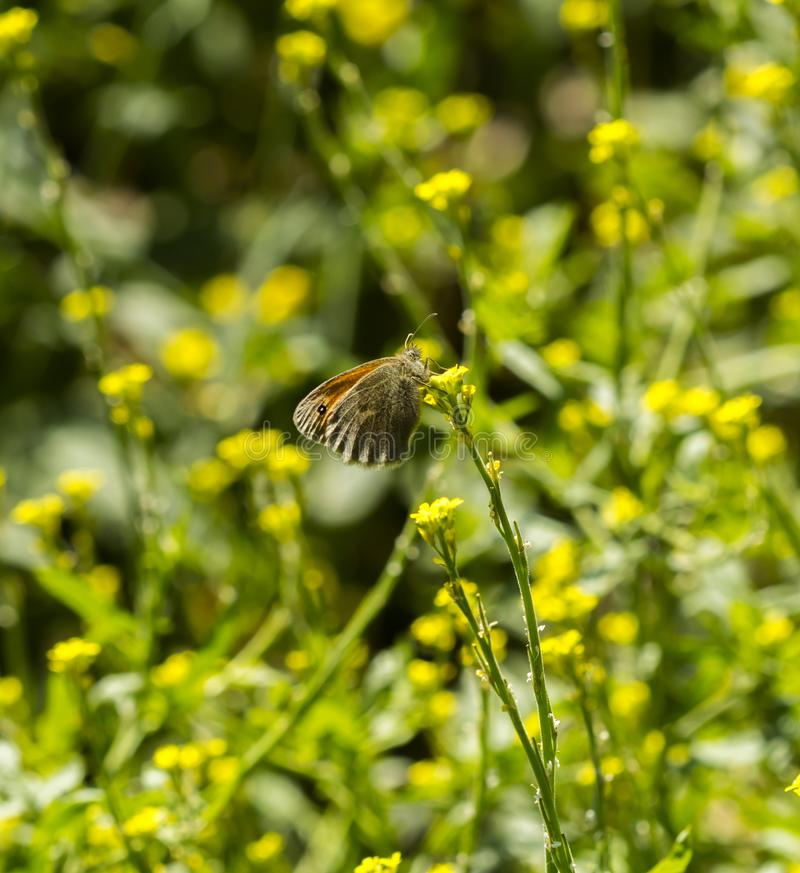 Una piccola farfalla arancio che si siede su una pianta del seme di ravizzone fotografia stock libera da diritti