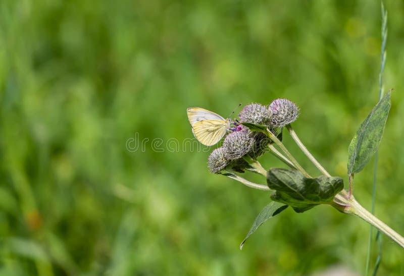 Una piccola farfalla bianca e gialla luminosa impollina i fiori lanosi porpora della bardana nel giardino di estate su un fondo v immagine stock