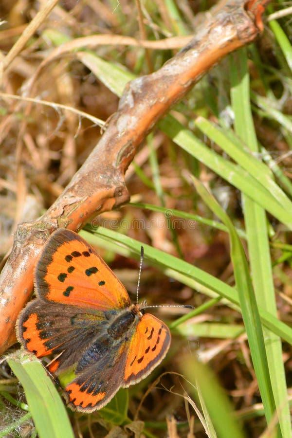 Una piccola farfalla di rame immagine stock