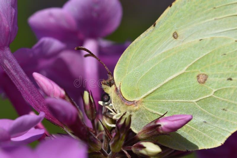 Una piccola farfalla gialla di una citronella fotografia stock