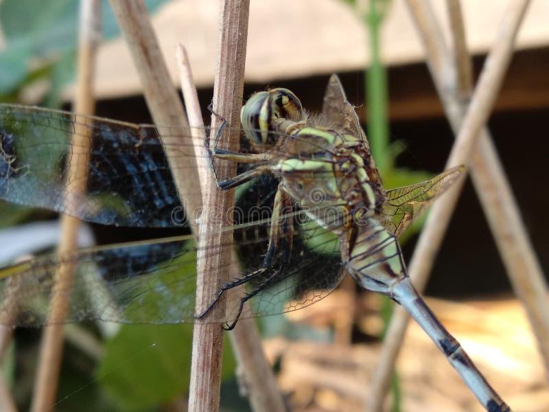 Una piccola libellula fotografie stock libere da diritti