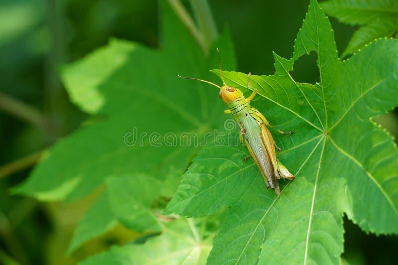 Una piccola locusta sulle foglie verdi nei campi fotografia stock