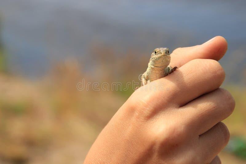 Una piccola lucertola marrone si siede sulle palme Primo piano immagine stock libera da diritti