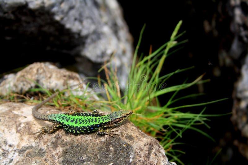 Una piccola lucertola verde su una pietra con erba sull'orlo della scogliera fotografia stock