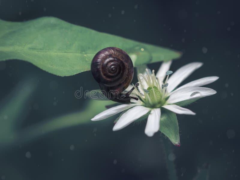 Una piccola lumaca marrone su una foglia verde fa scorrere su un fiore bianco Fondo scuro immagini stock libere da diritti