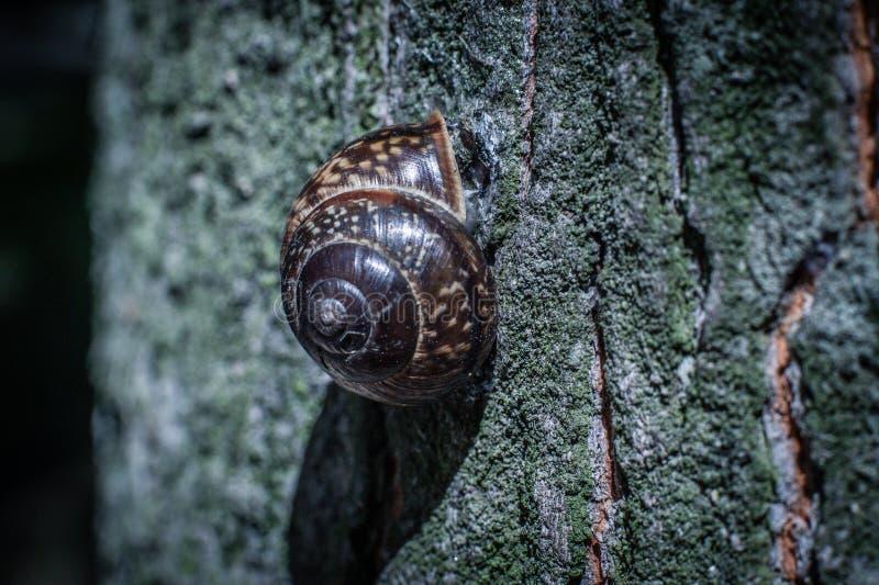 Una piccola lumaca si è appollaiata su un tronco di albero alto, macro foto immagini stock libere da diritti