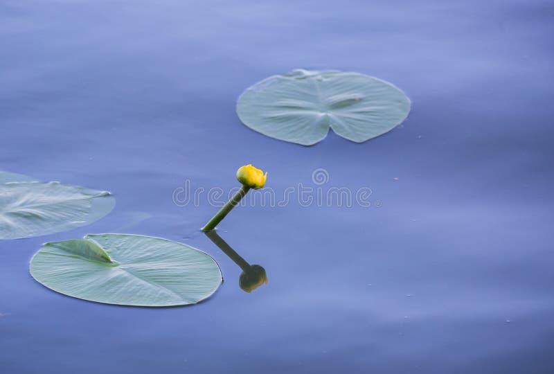 Una piccola ninfea sull'acqua con la sua riflessione immagini stock