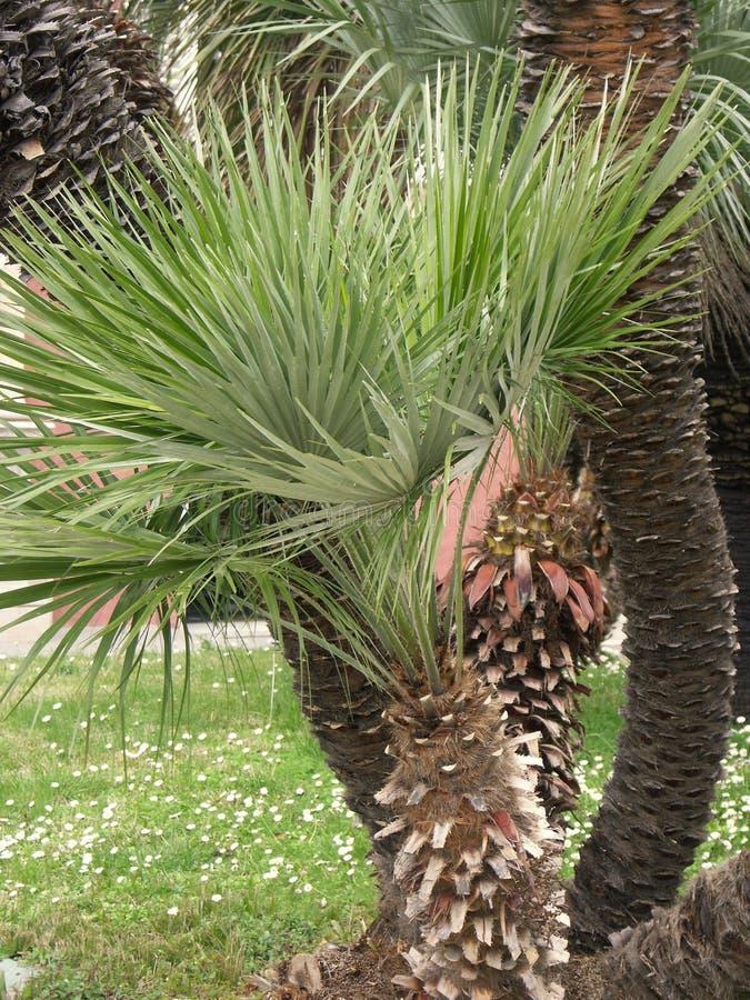 Una piccola palma nel giardino fotografia stock libera da diritti