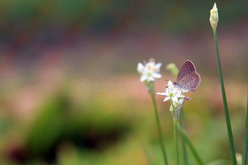 Una piccola pertica bianca della farfalla su un fiore bianco con verde ha offuscato il fondo immagini stock libere da diritti