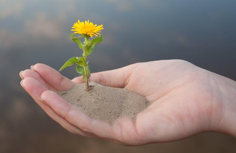 Una piccola pianta in mani fotografia stock