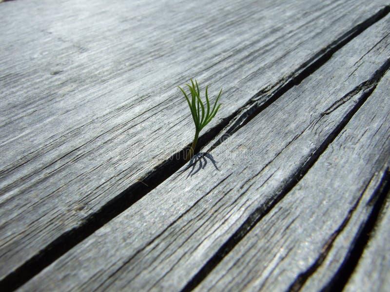 Una piccola pianta sola che cresce da una tavola di legno immagine stock
