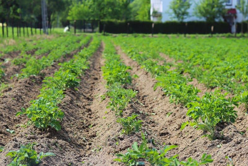 Una piccola piantagione dei cespugli di giovane carofel sul cortile Coltivazione dei raccolti agricoli Piante stagionali per cuci fotografia stock
