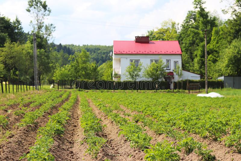 Una piccola piantagione dei cespugli di giovane carofel sul cortile Coltivazione dei raccolti agricoli Piante stagionali per cuci immagini stock