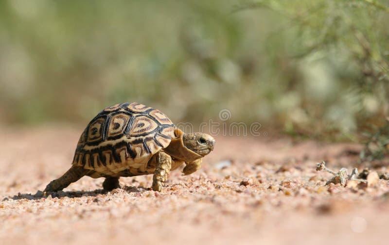 Una piccola tartaruga di leoaprd fotografia stock