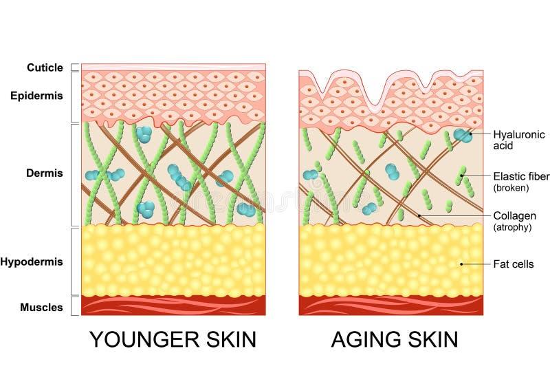 Una piel más joven y una piel más vieja stock de ilustración