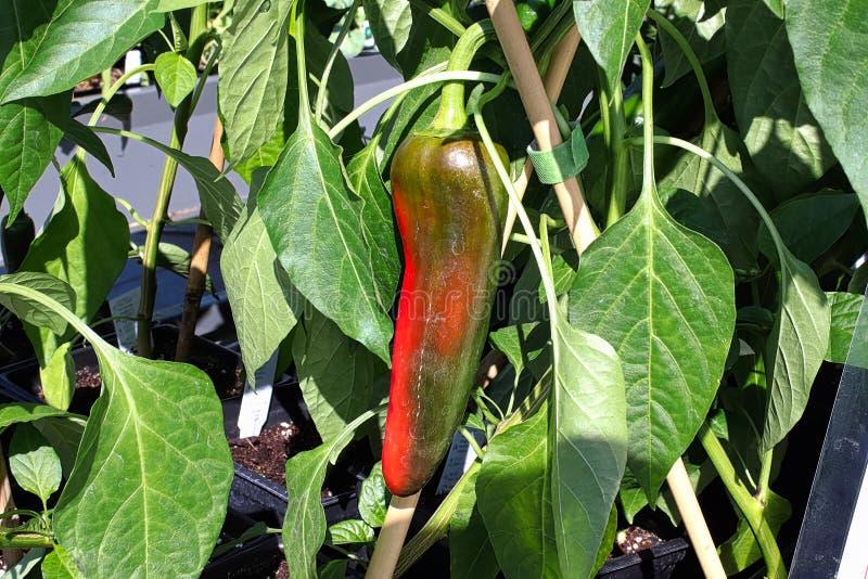 Una pimienta de anaheim que da vuelta a rojo brillante en la planta fotos de archivo