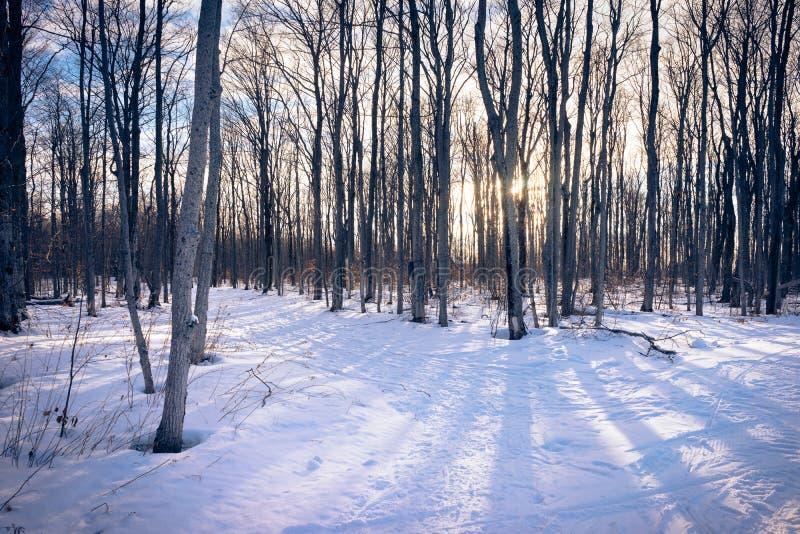 Una pista de senderismo a través de árboles de abedul en invierno imagen de archivo