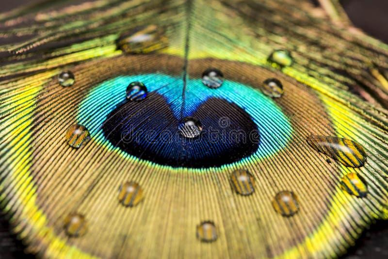Una piuma del pavone fotografia stock libera da diritti