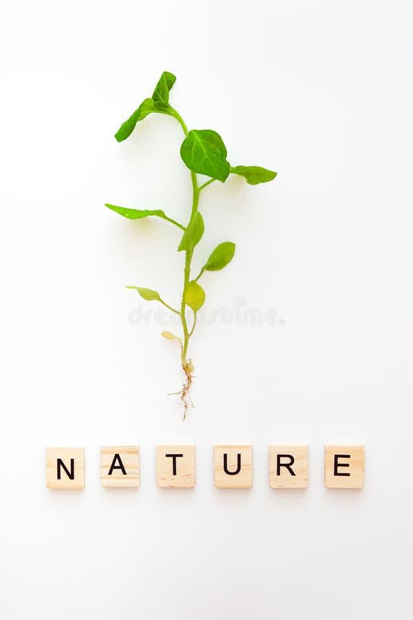 Una plántula con una raíz se aísla en un fondo blanco y las palabras son de eco de madera de las letras, vida natural, nueva Ende fotos de archivo libres de regalías