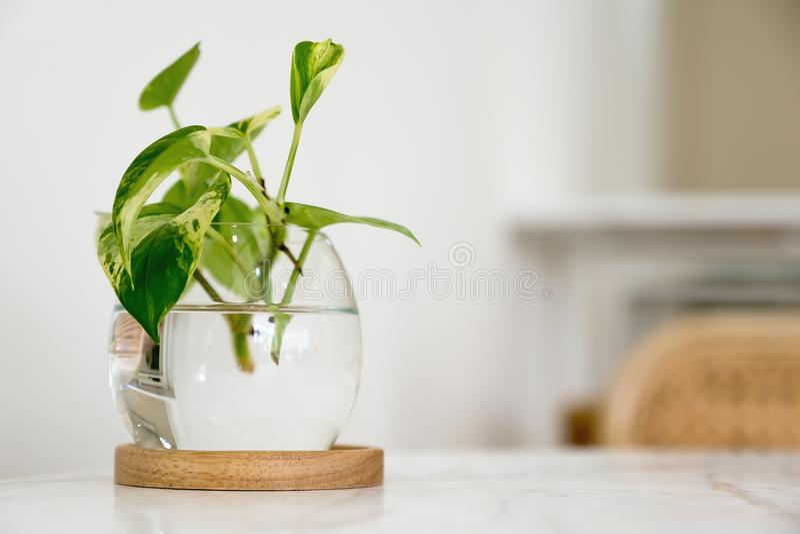 Una planta acuática verde en un tarro de cristal en la tabla imagen de archivo