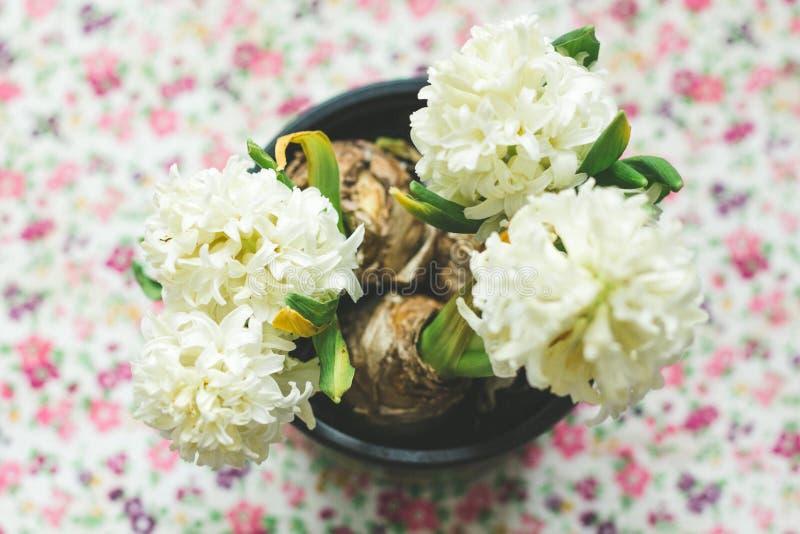 Una planta casera en conserva hermosa comenzó a florecer de muchas pequeñas flores foto de archivo libre de regalías