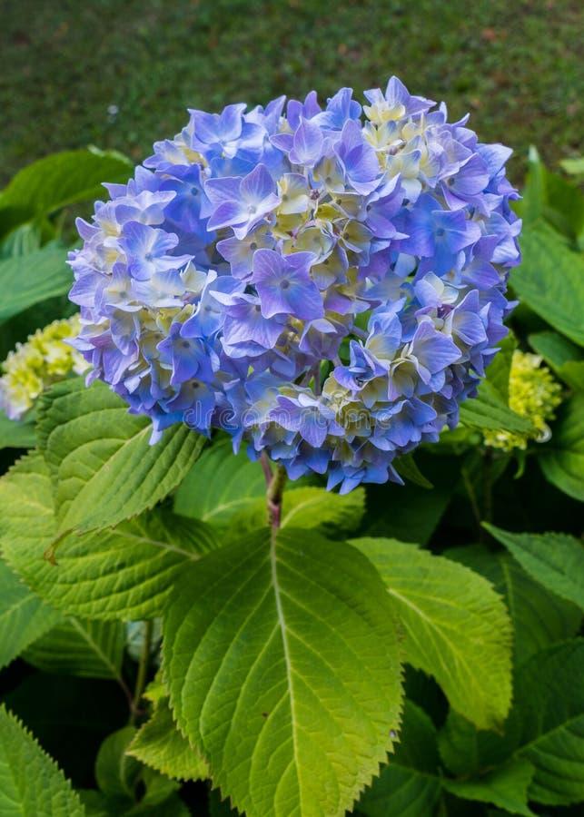 Una planta con mucho azul florece con su inflorescencia que forma una bola imagenes de archivo