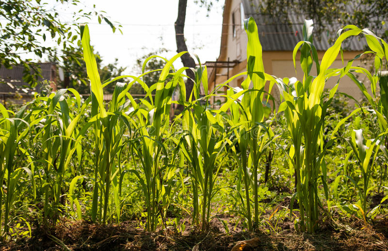 Una planta de maíz verde joven crece en el campo, en luz del sol fotos de archivo