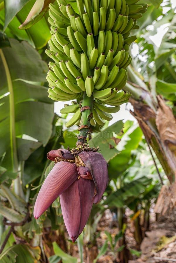 Una planta de plátano floreciente con una cosecha sana de plátanos imagenes de archivo